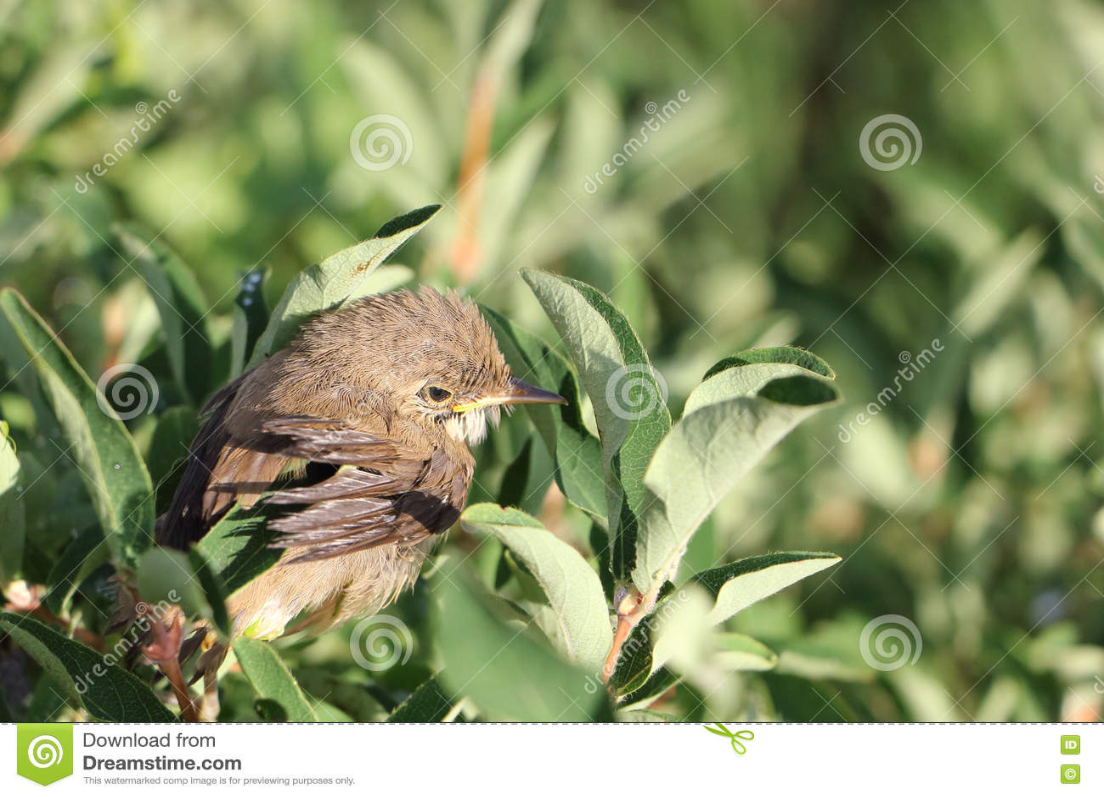 Behandla som ett barnfågeln av ett trastsammanträde på en filial