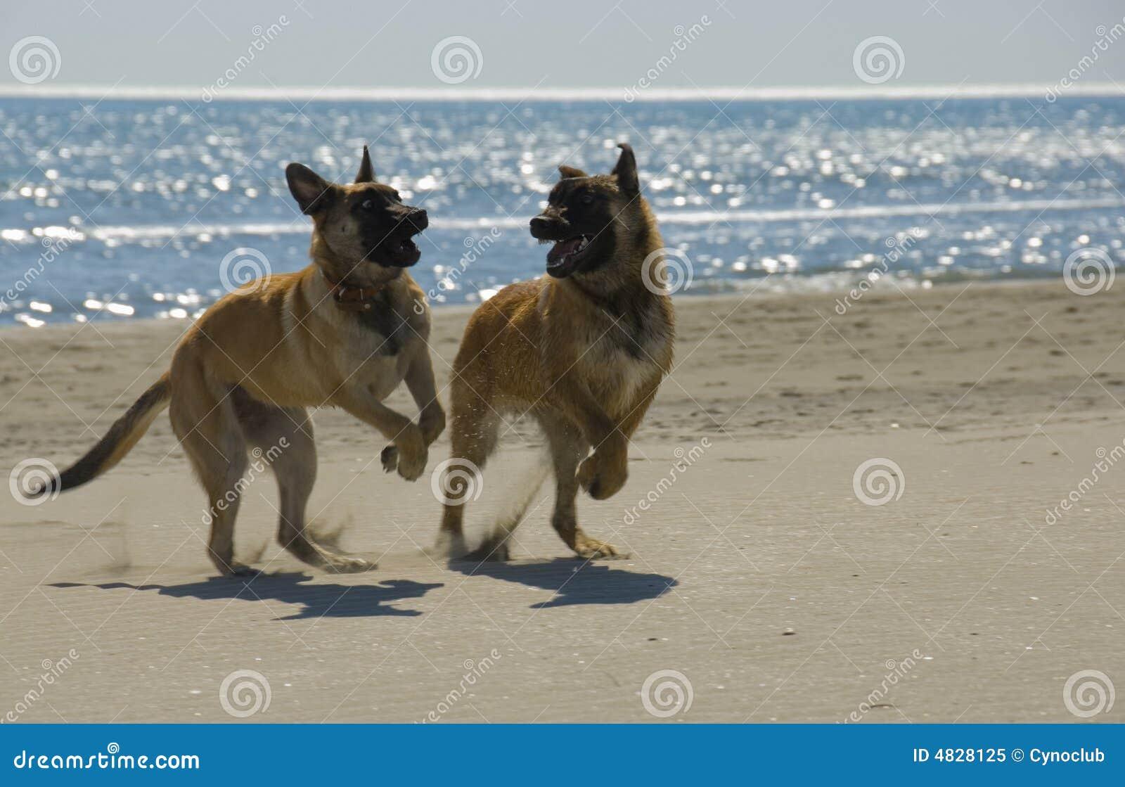 Beißender belgischer Schäferhund