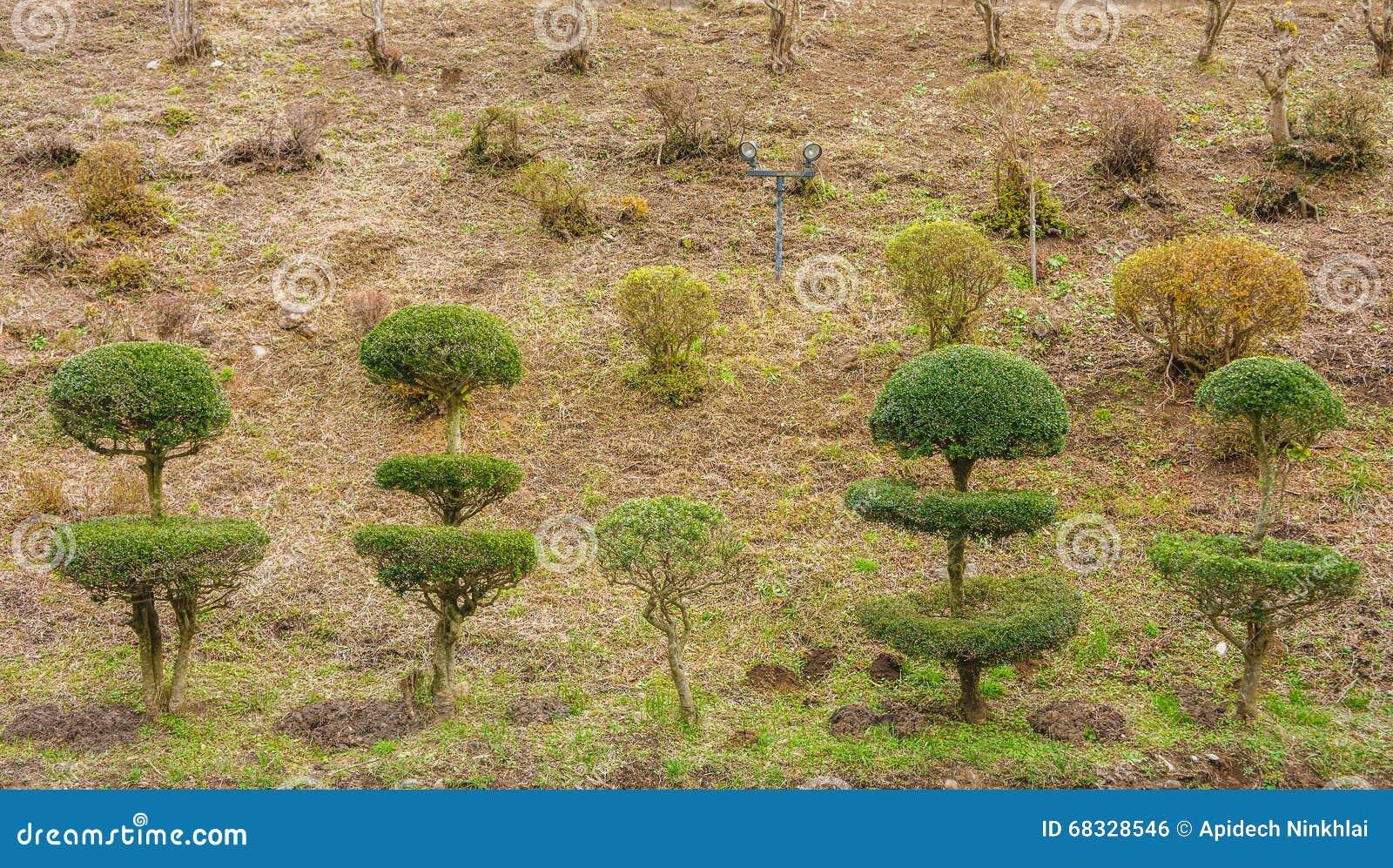 Alberi Nani Da Giardino bei alberi nani fotografia stock. immagine di piccolo - 68328546