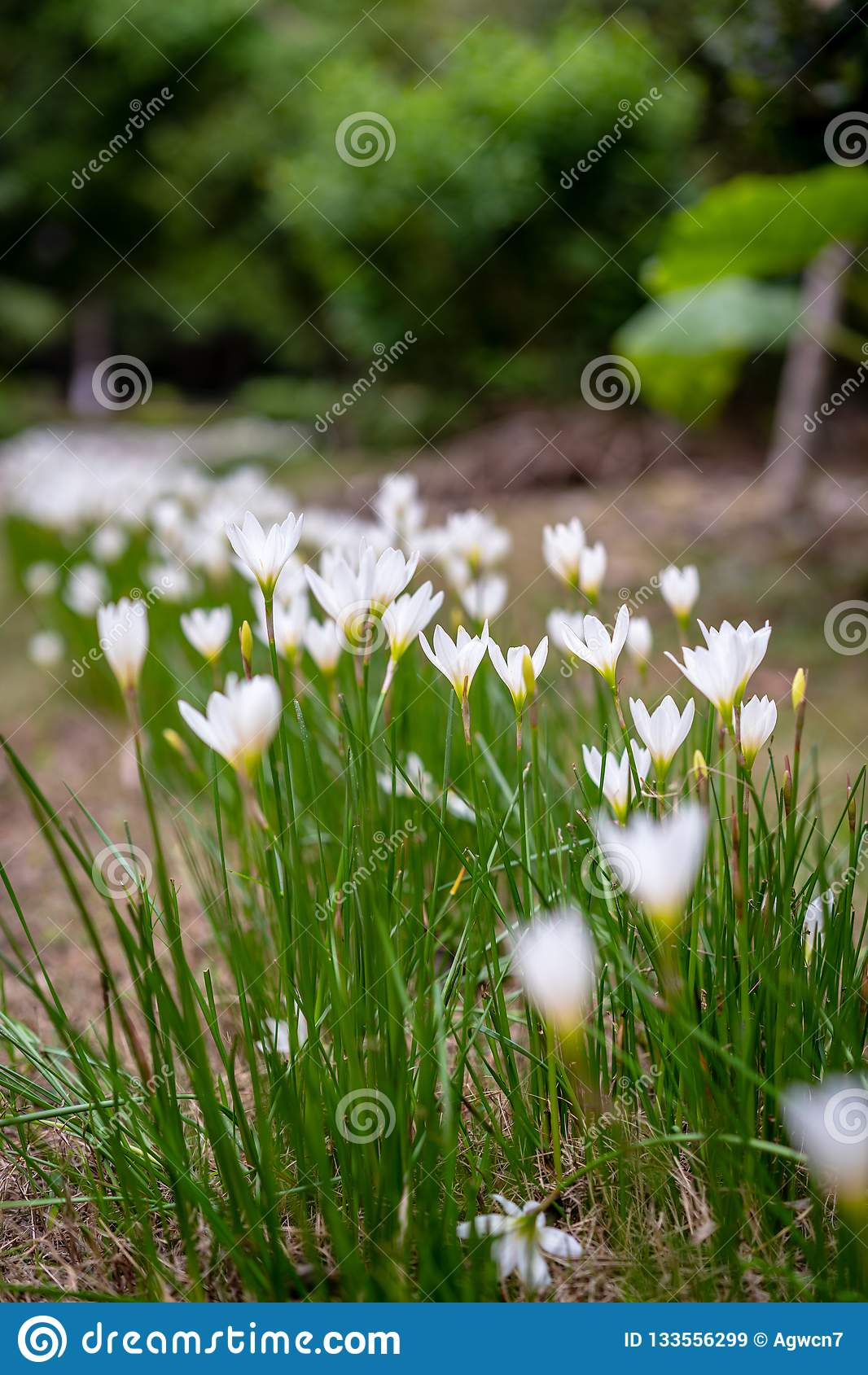 Bei bucaneve nell erba in giardino