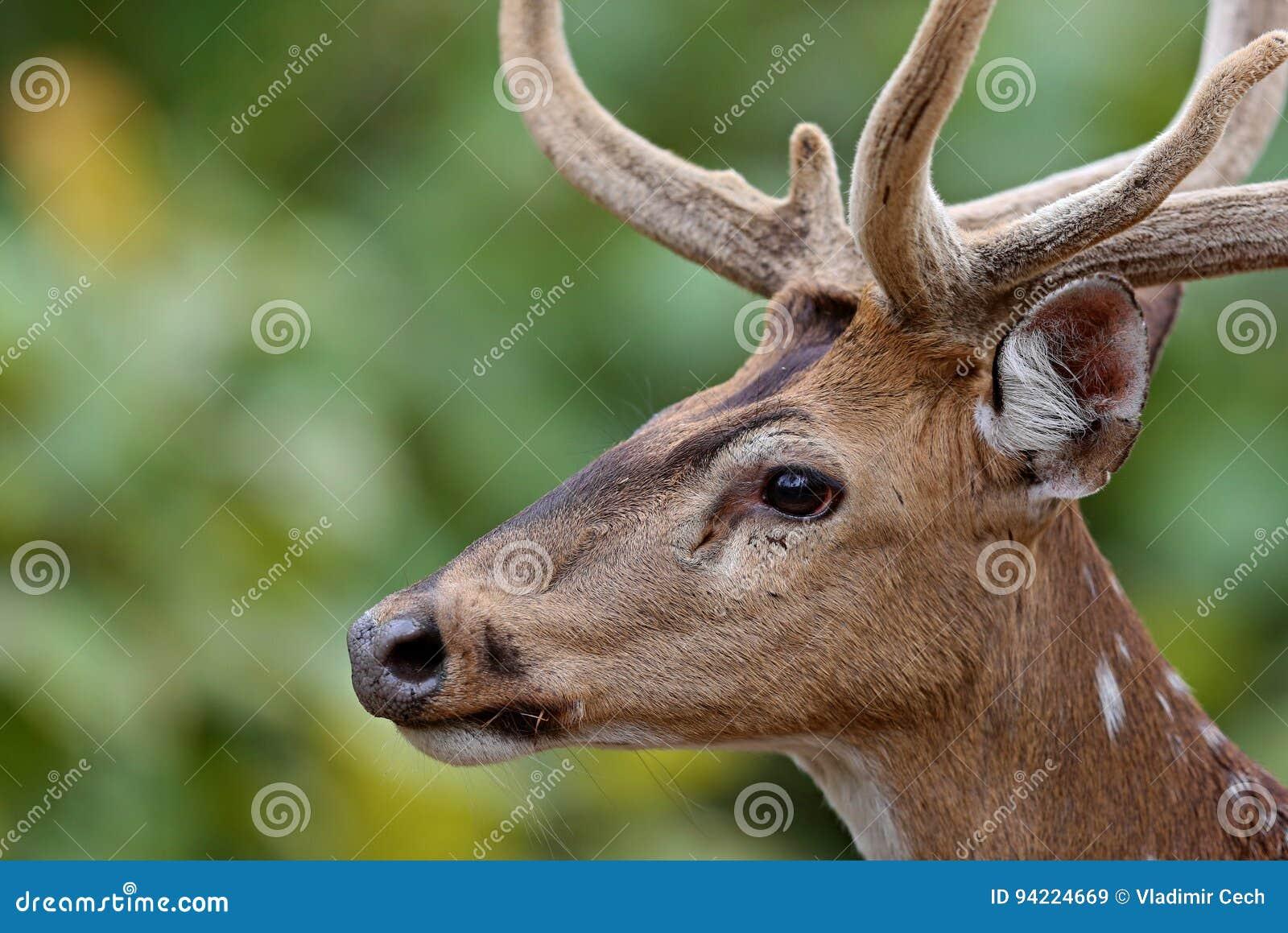 Bei cervi di asse nell habitat della natura in India