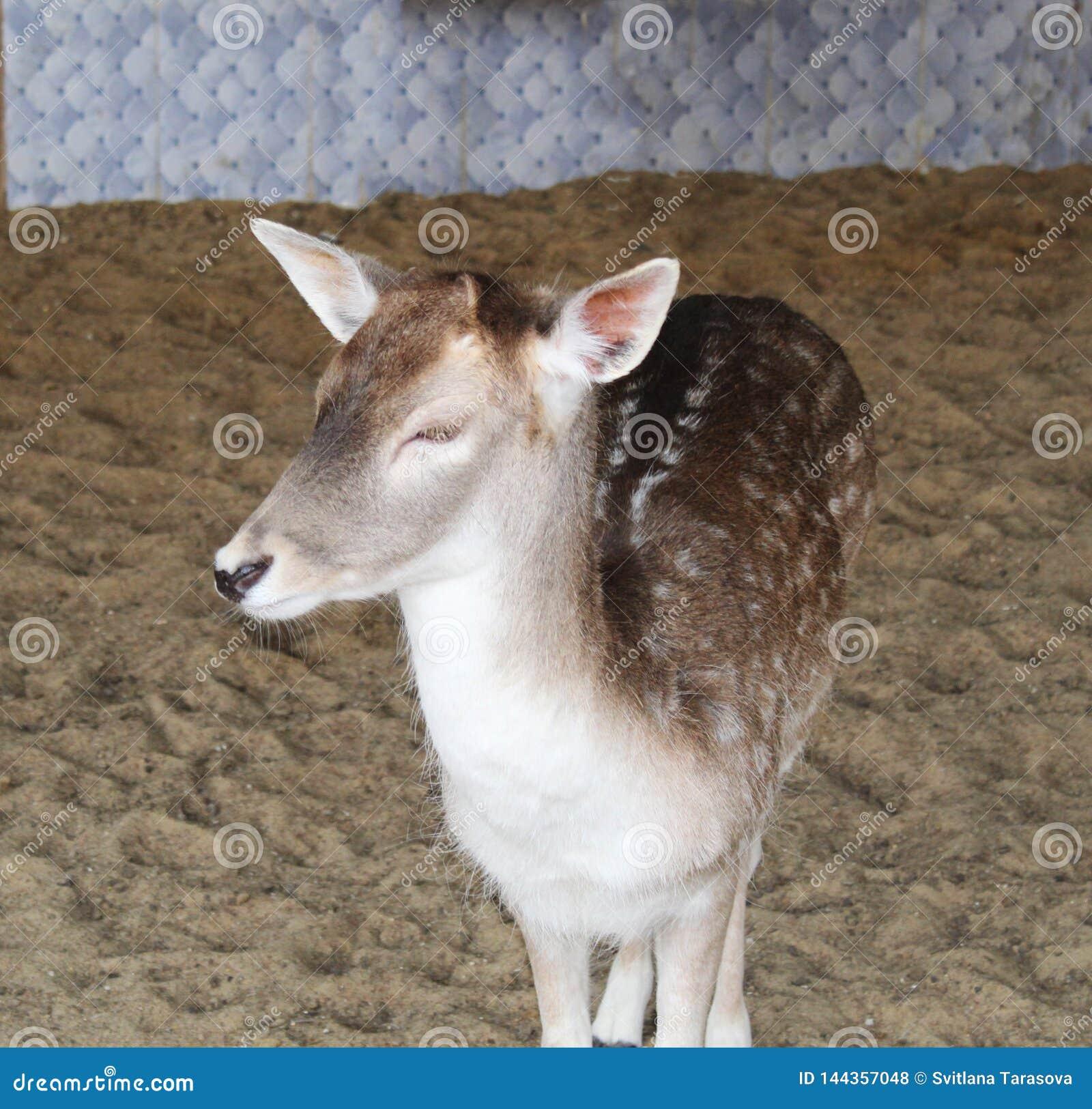 Bei cervi selvaggi di Yong nello zoo