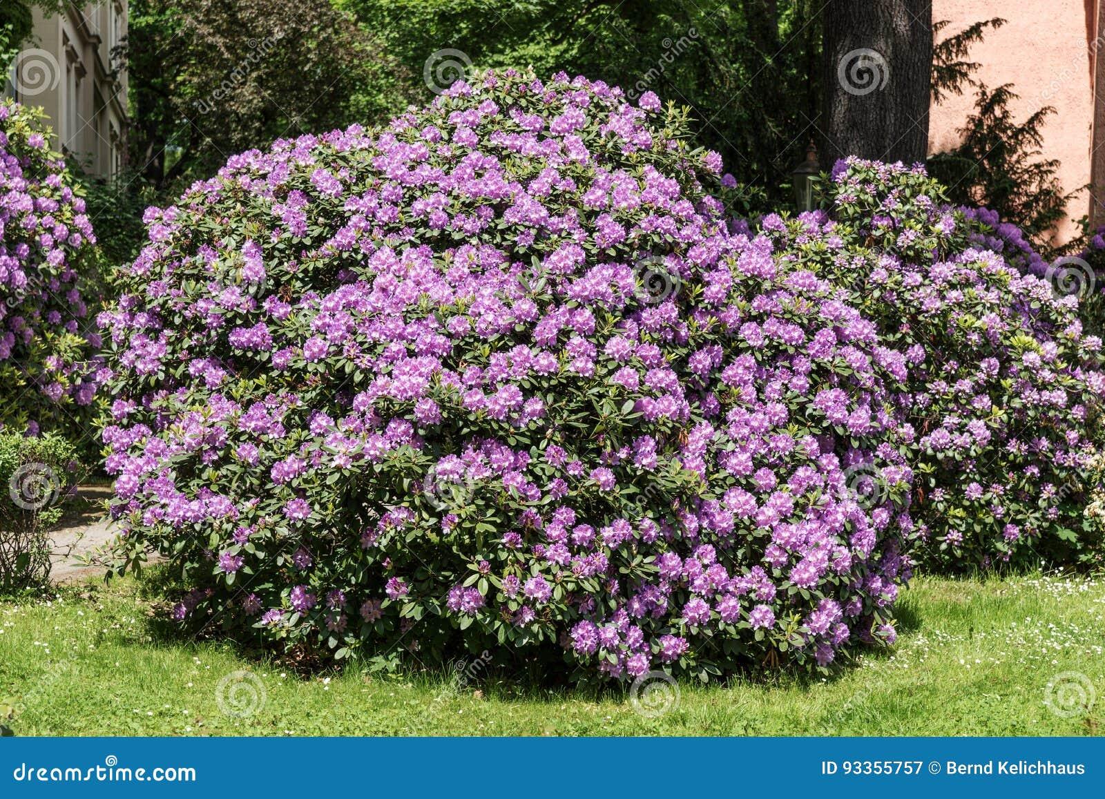 Bei cespugli del fiore del rododendro in un giardino for Cespugli giardino