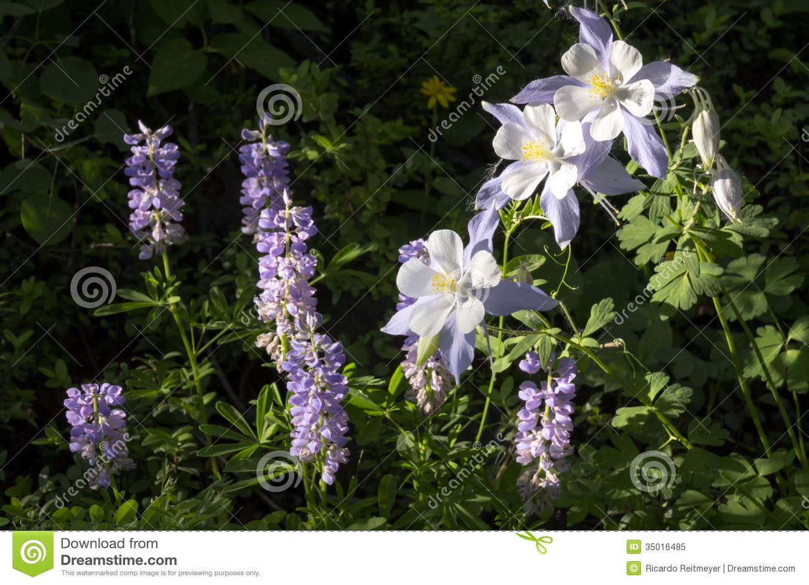 Bei fiori alpini di colombina di Colorado lungo la traccia di escursione della montagna di Vail