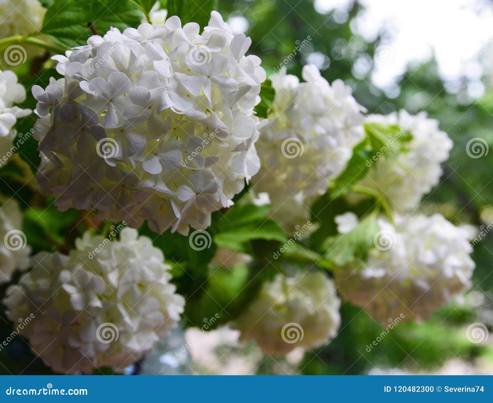 Fiori A Palla Bianchi.Bei Fiori Bianchi Di Viburno Nel Giardino Opulus Di Viburno Fine