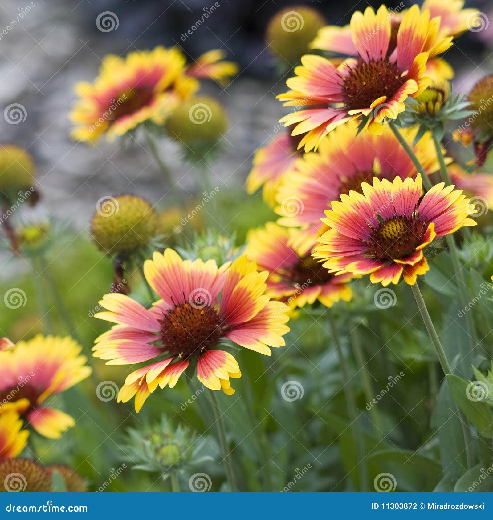 Bei fiori d 39 autunno del giardino fotografia stock for Immagini fiori autunnali