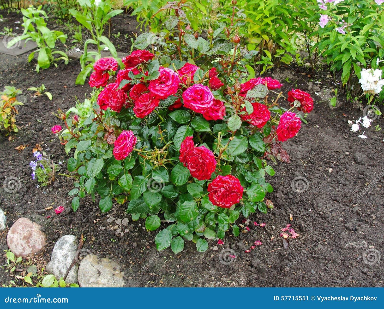 Arbusti Decorativi Da Giardino : Bei fiori decorativi nel giardino di estate il grande arbusto con