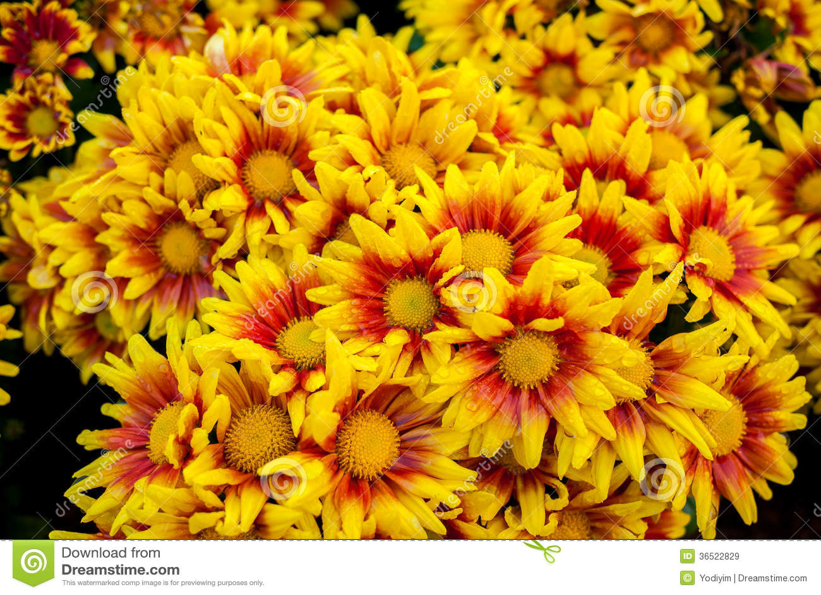 Bei fiori del crisantemo