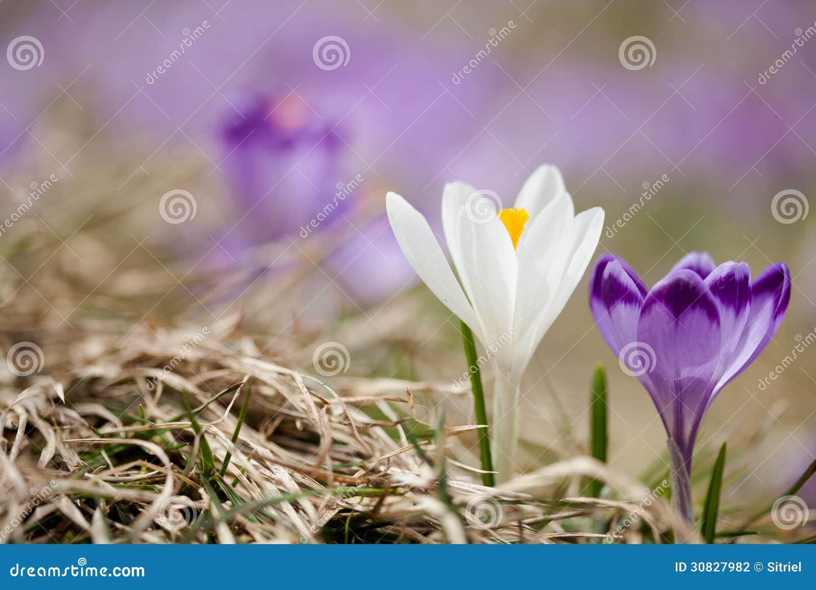 Bei fiori del croco in montagne di Tatry