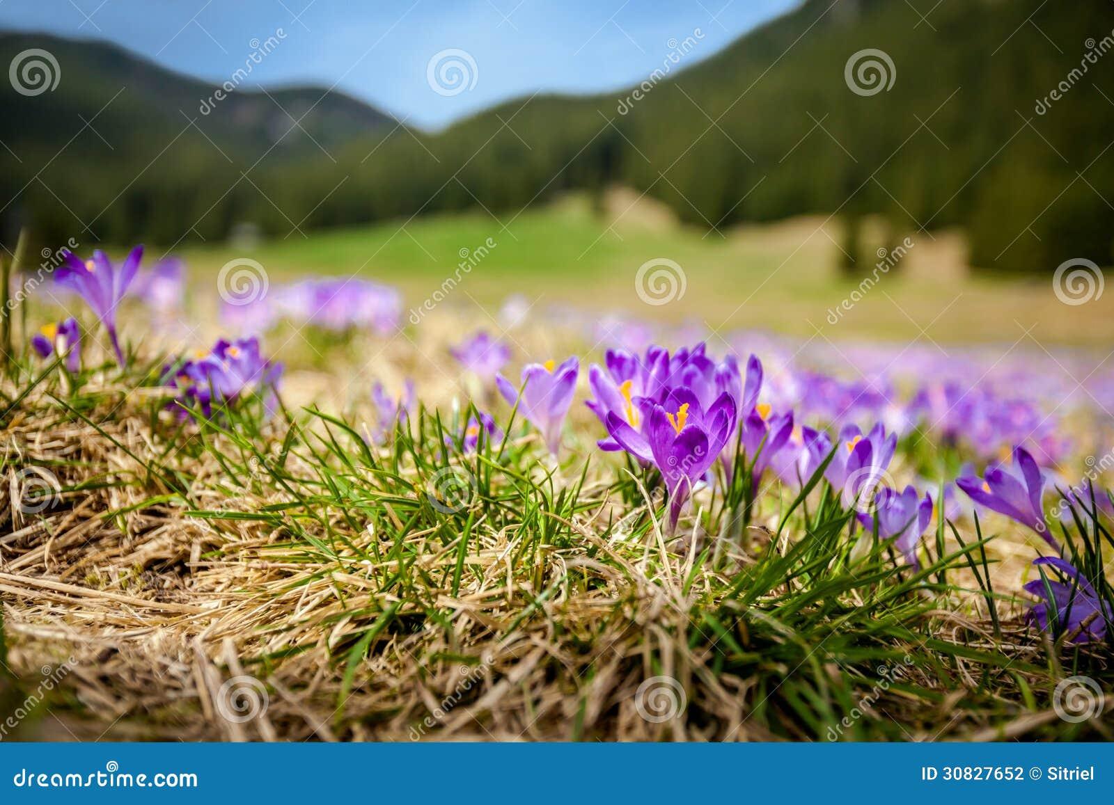 Bei fiori del croco in Tatry