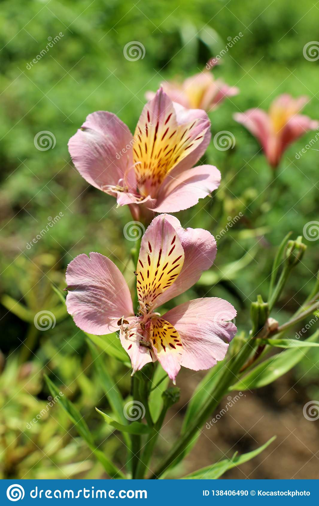 Bei fiori del giglio in natura