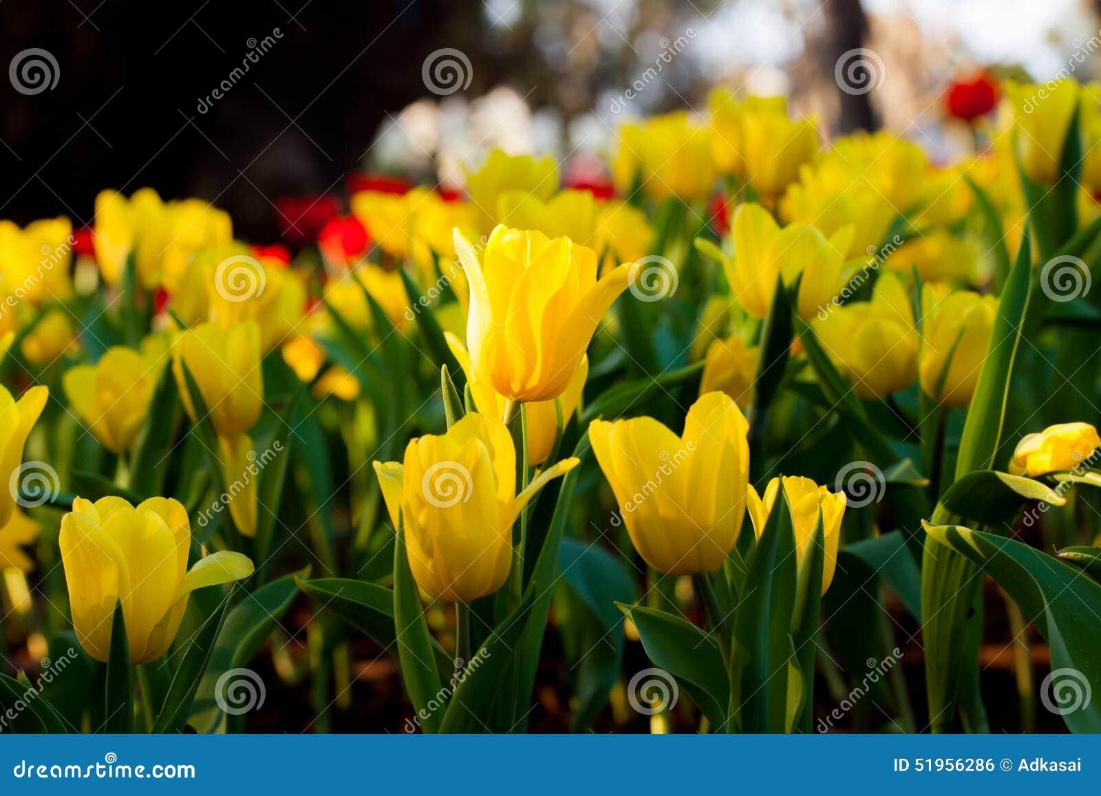Lampada Fiore Tulipano : Bei fiori del tulipano della primavera nel giardino di notte