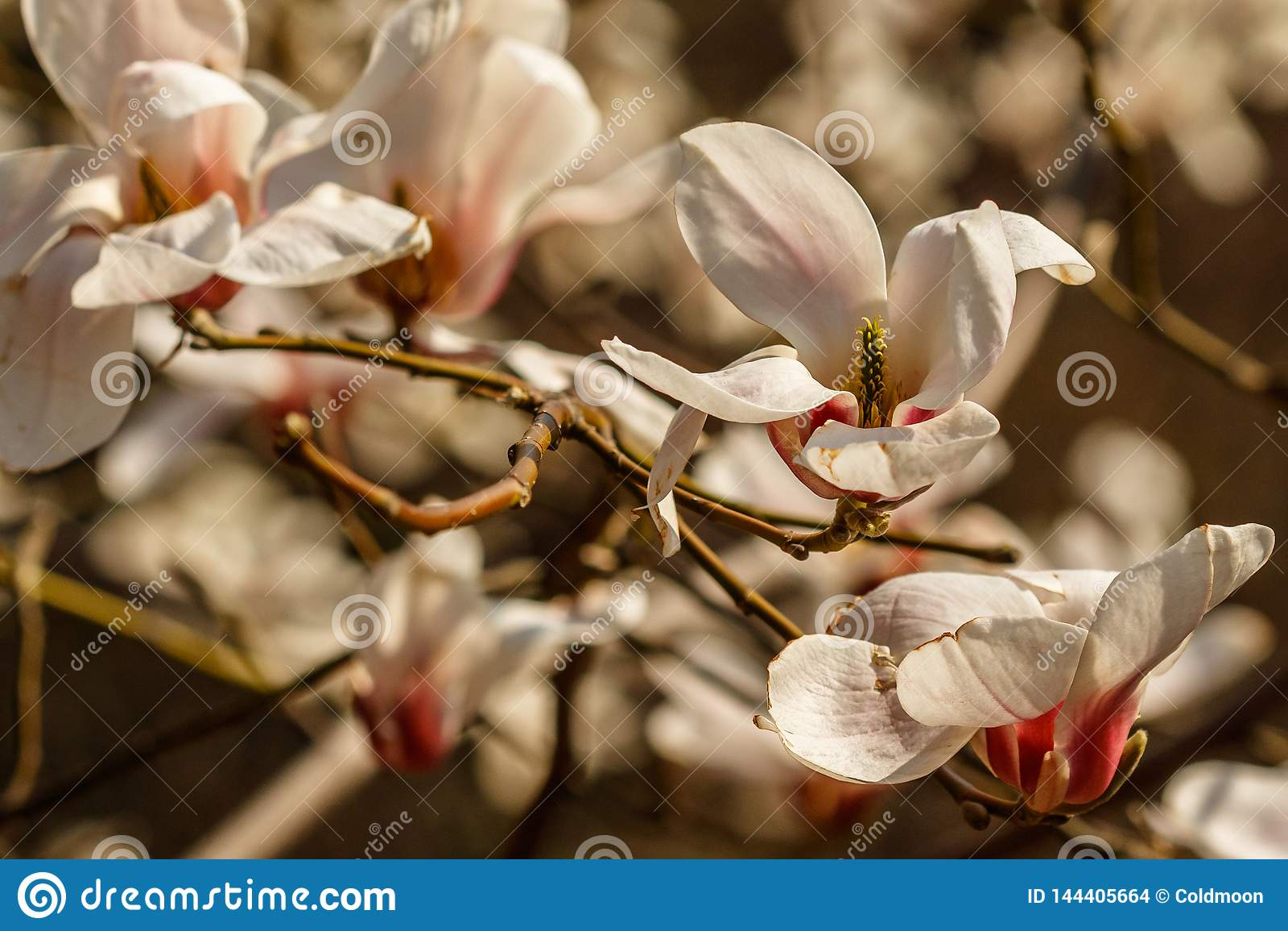 Bei fiori della magnolia con le goccioline di acqua