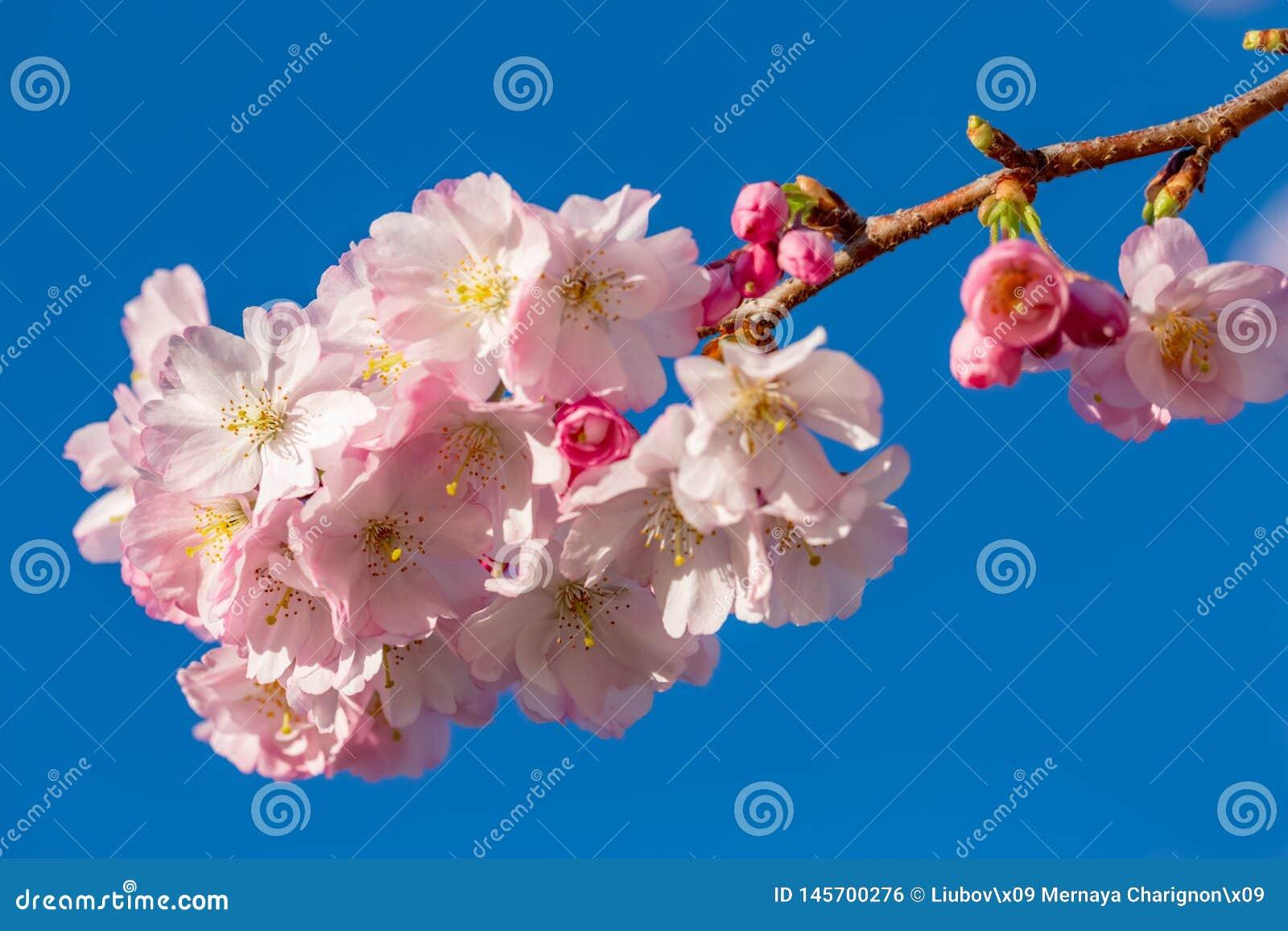 Bei fiori della molla in un frutteto
