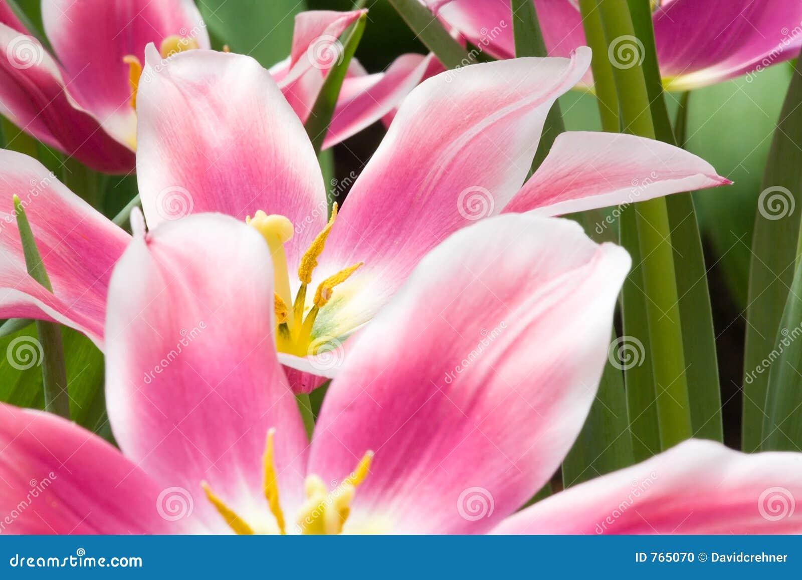 Bei fiori dentellare