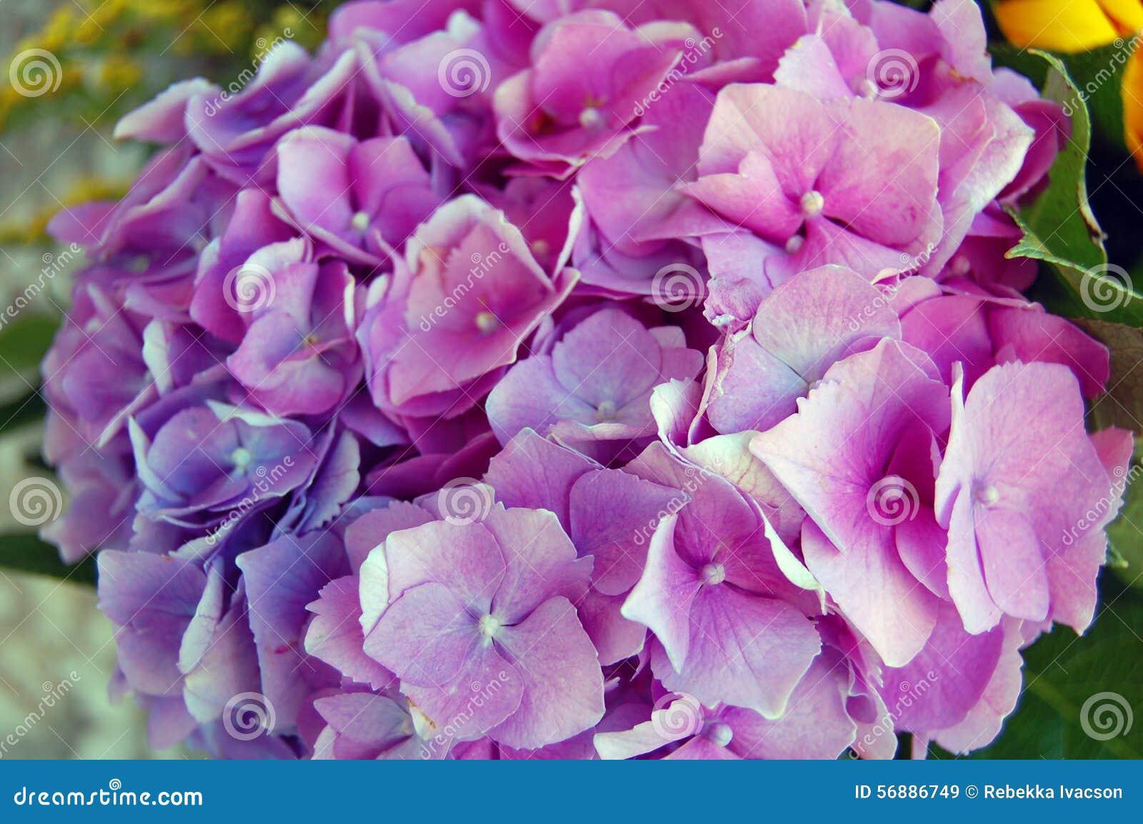 Bei fiori di Hortensia