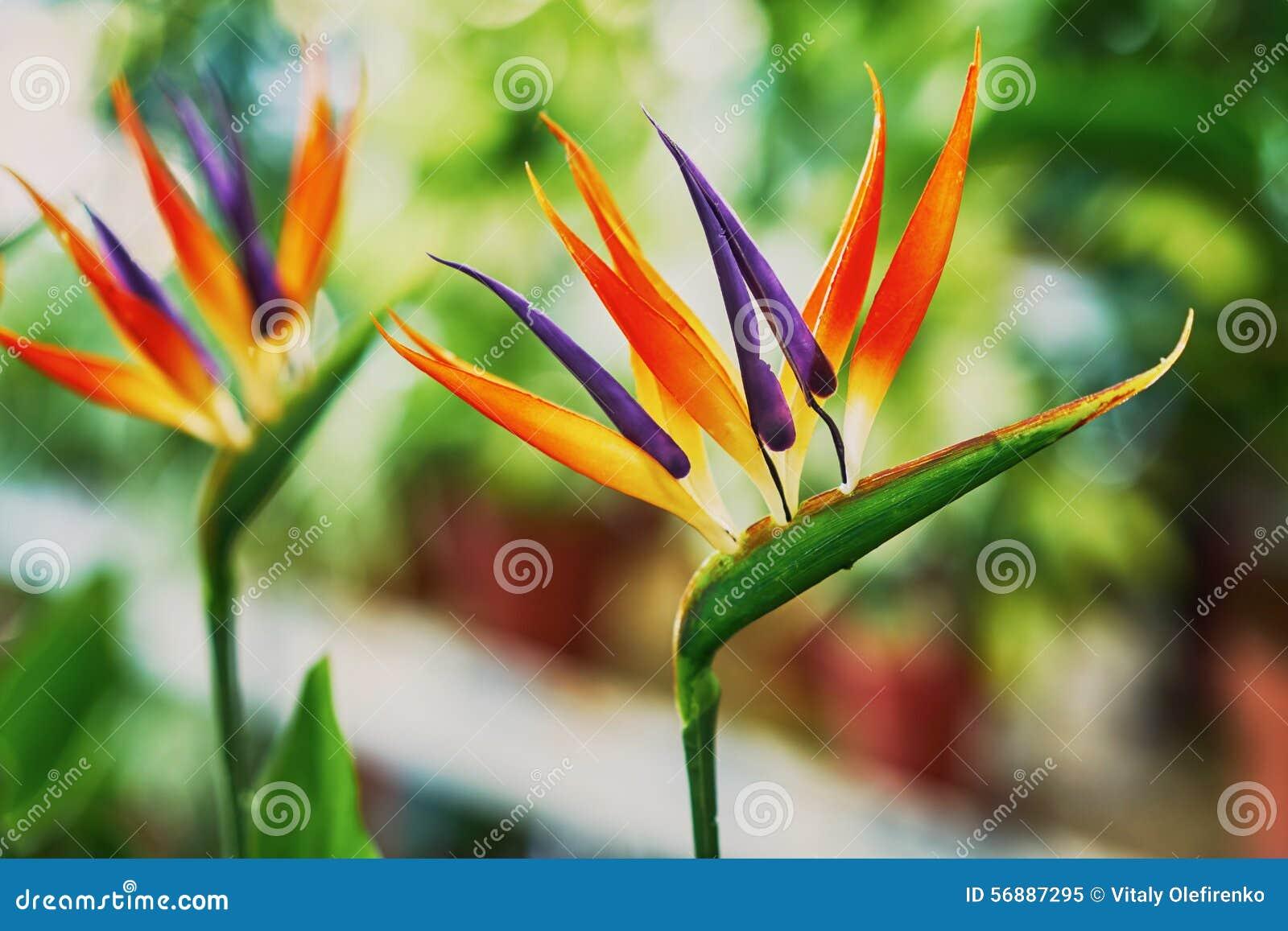 Bei fiori di strelizia
