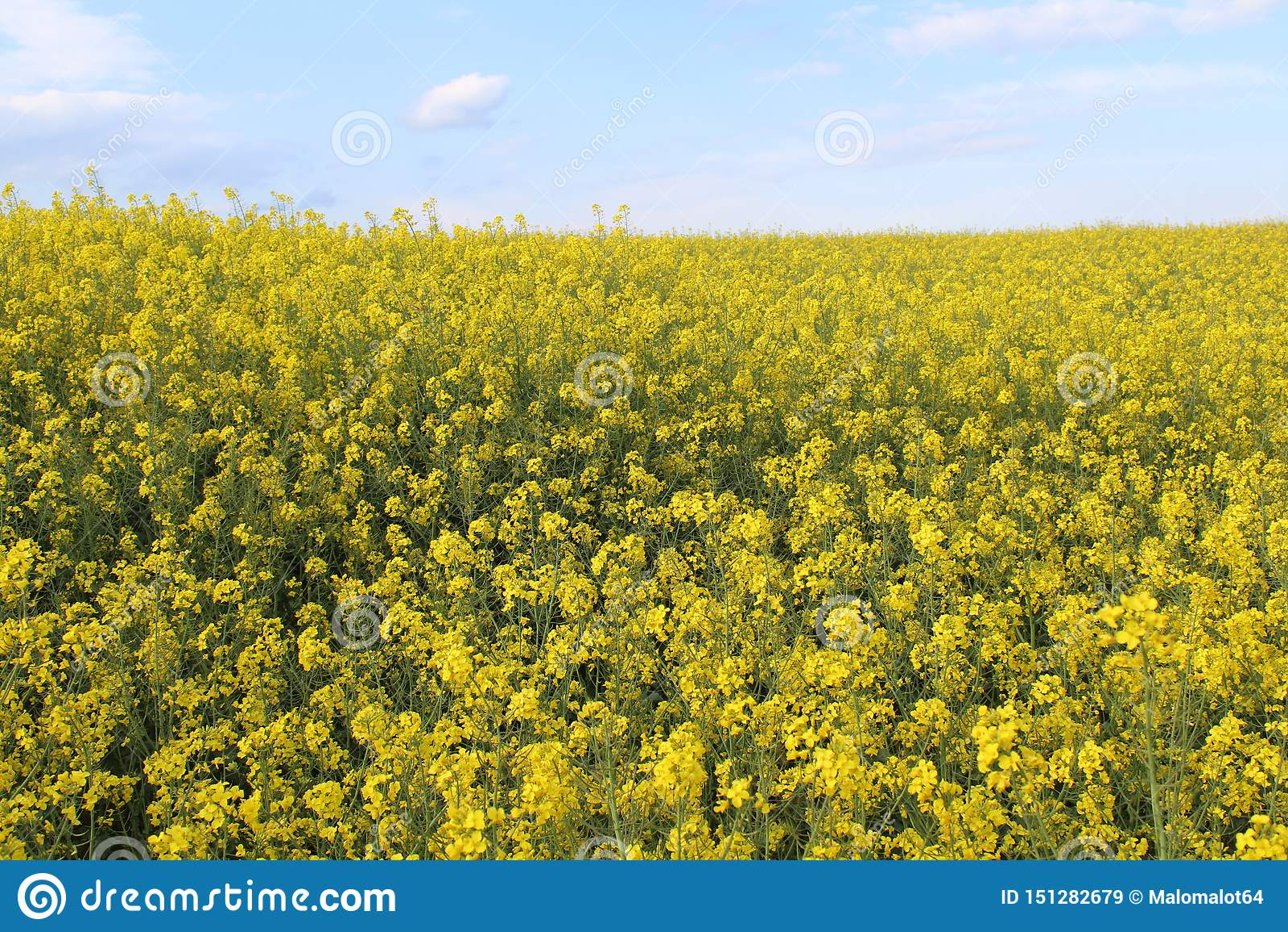 Bei fiori gialli di grande colore e di grande aroma