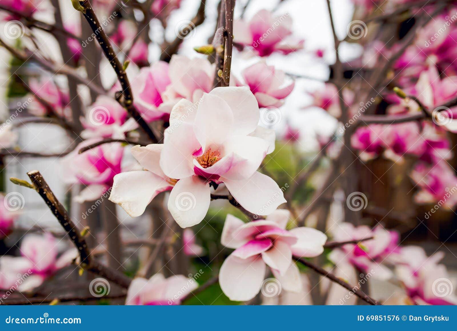 Bei fiori rosa chiaro della magnolia fotografia stock for Magnolia pianta prezzi