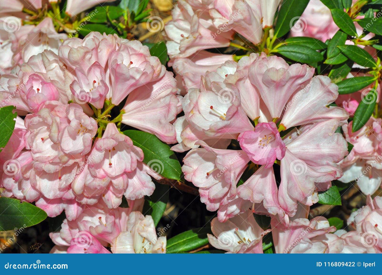 Bei fiori rosa del rododendro