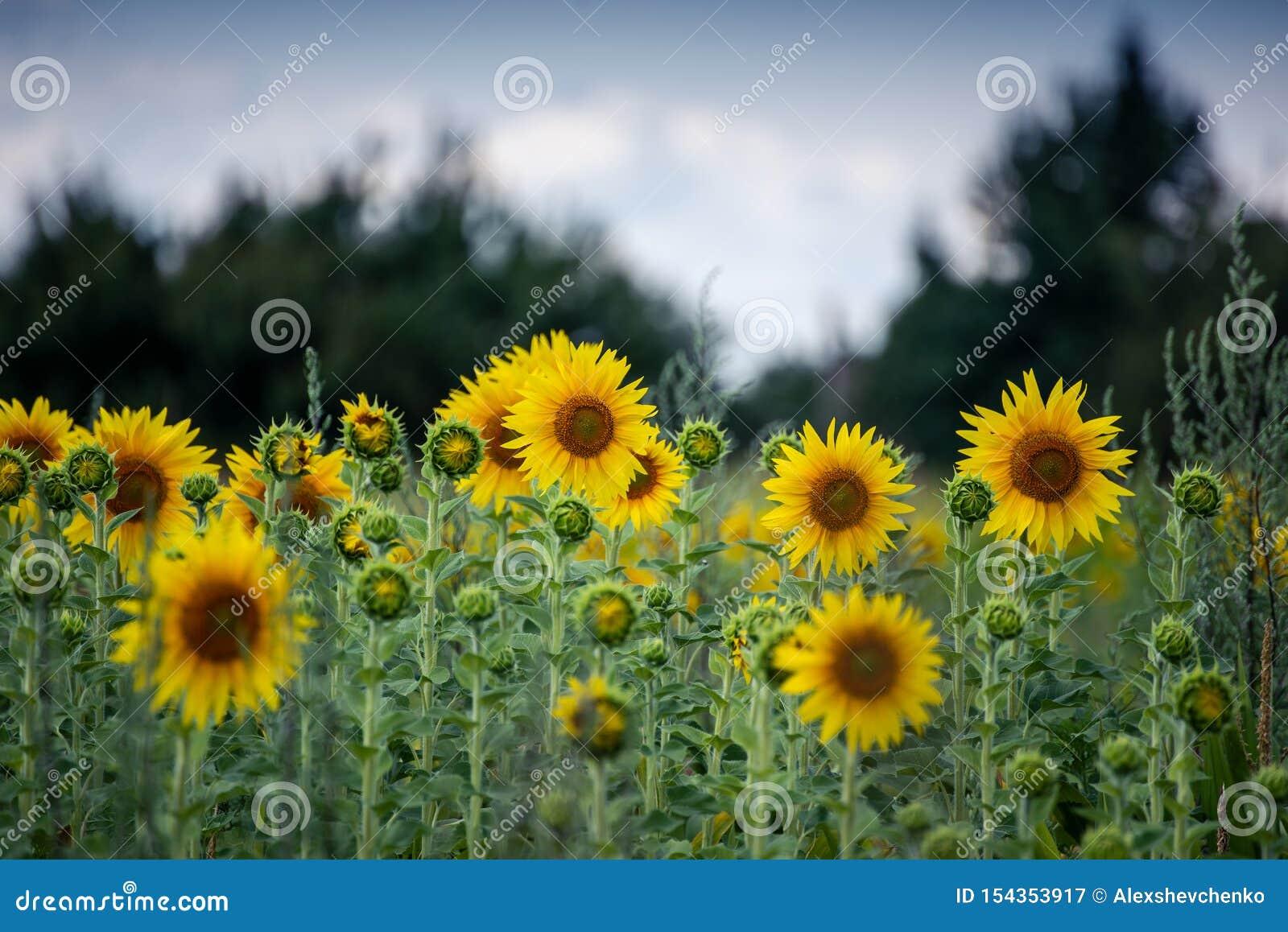 Bei girasoli gialli nel giorno di estate