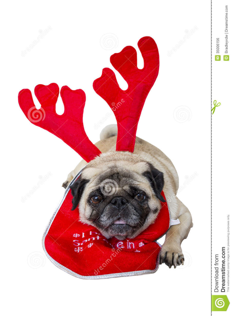 Beige Pug Wearing Christmas Attire 1 Royalty Free Stock Image - Image ...