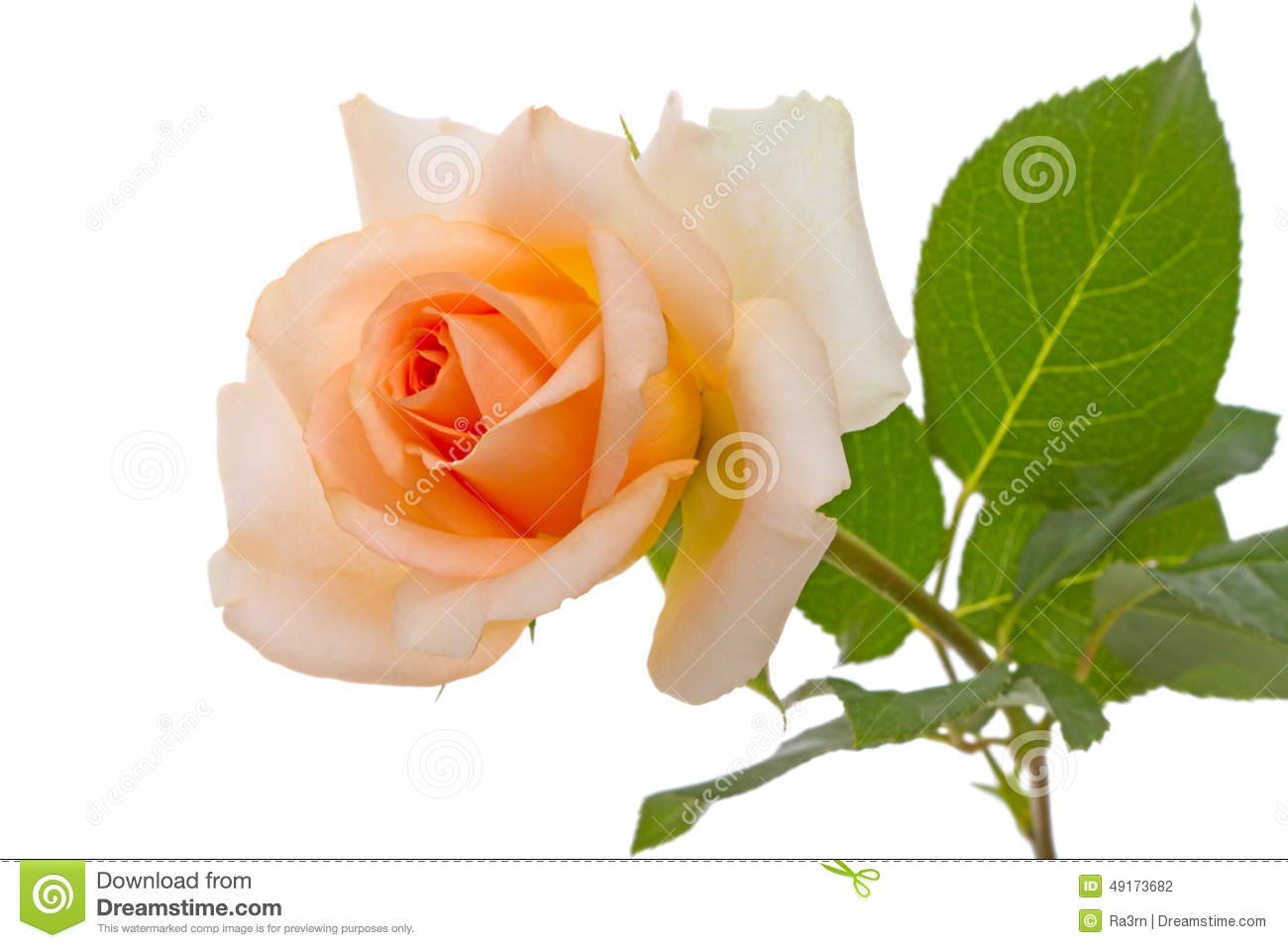 Beige rose on white