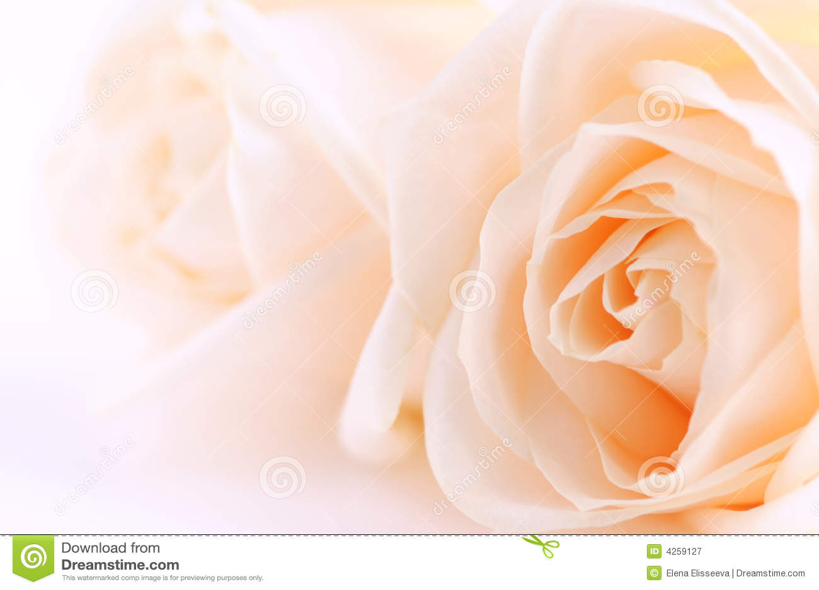 Beige Rosen