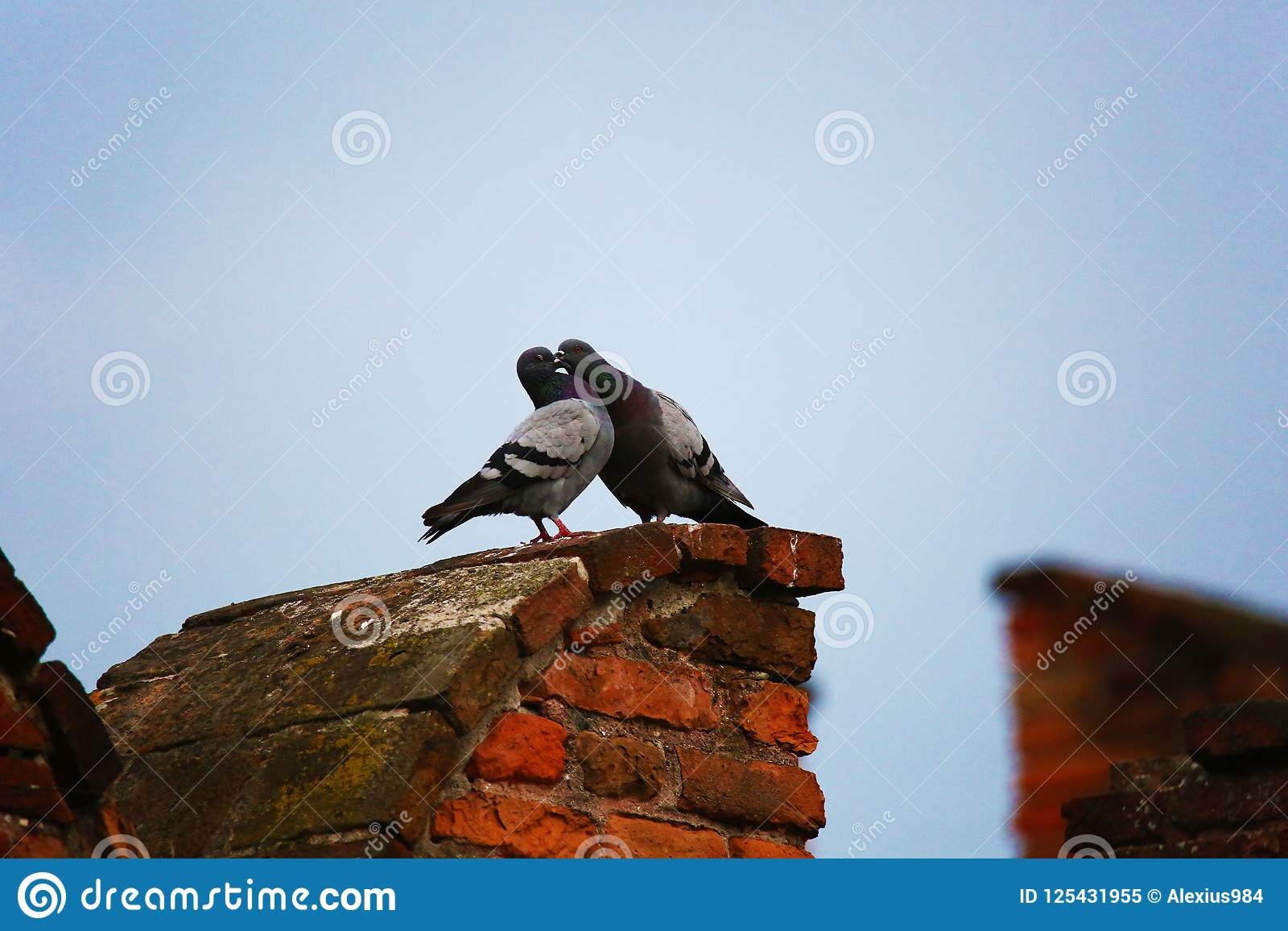 Beijo de dois pombos