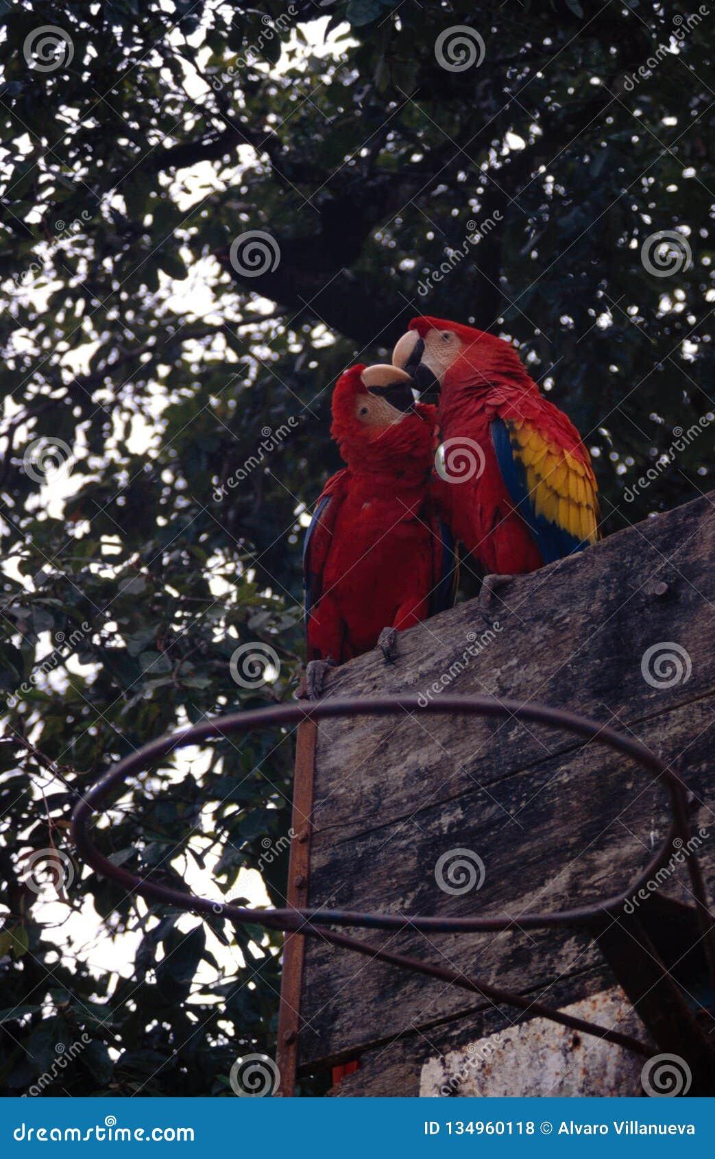 Beijo dos papagaios