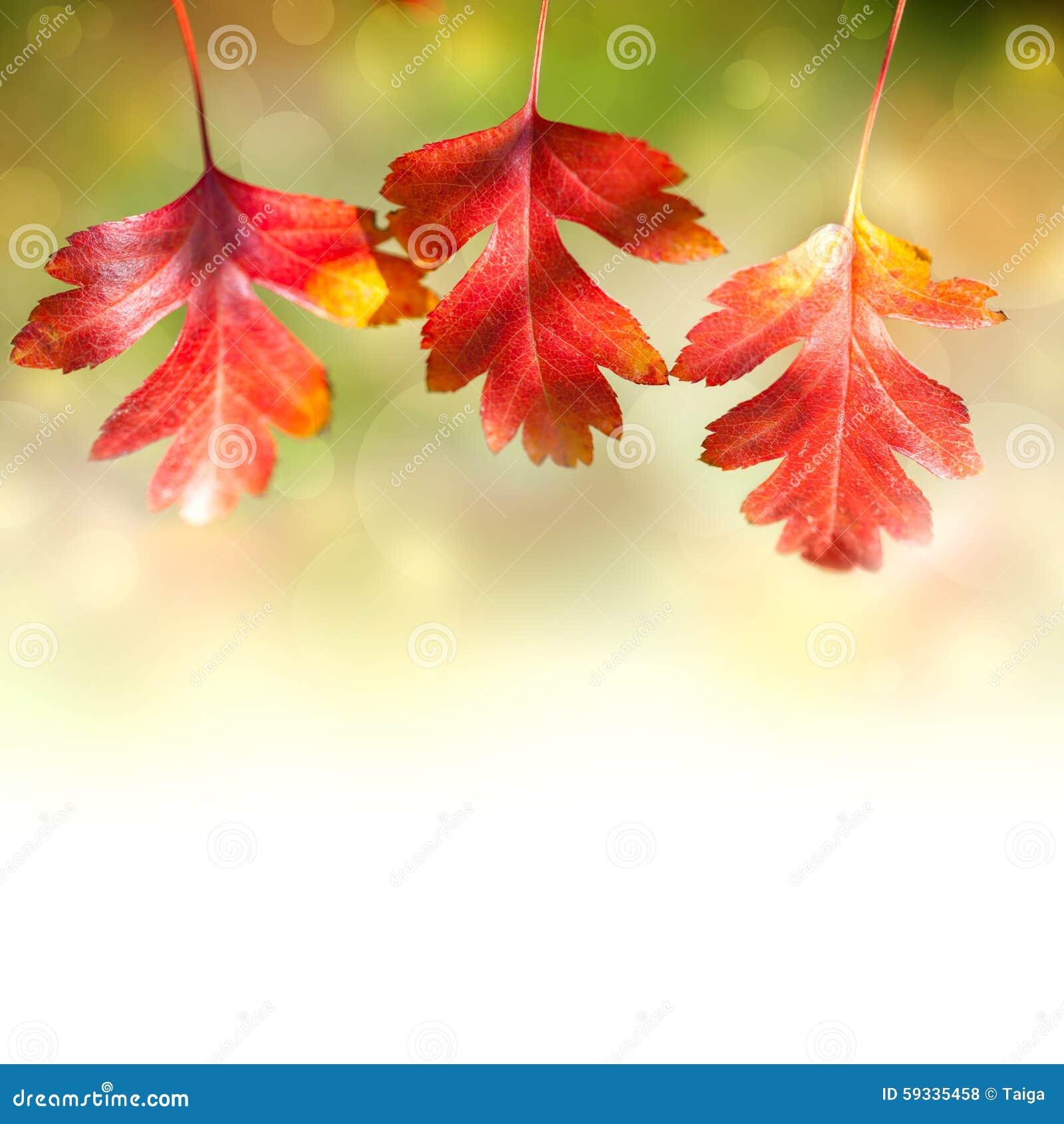 Beira das folhas coloridas de Autumn Red no fundo branco