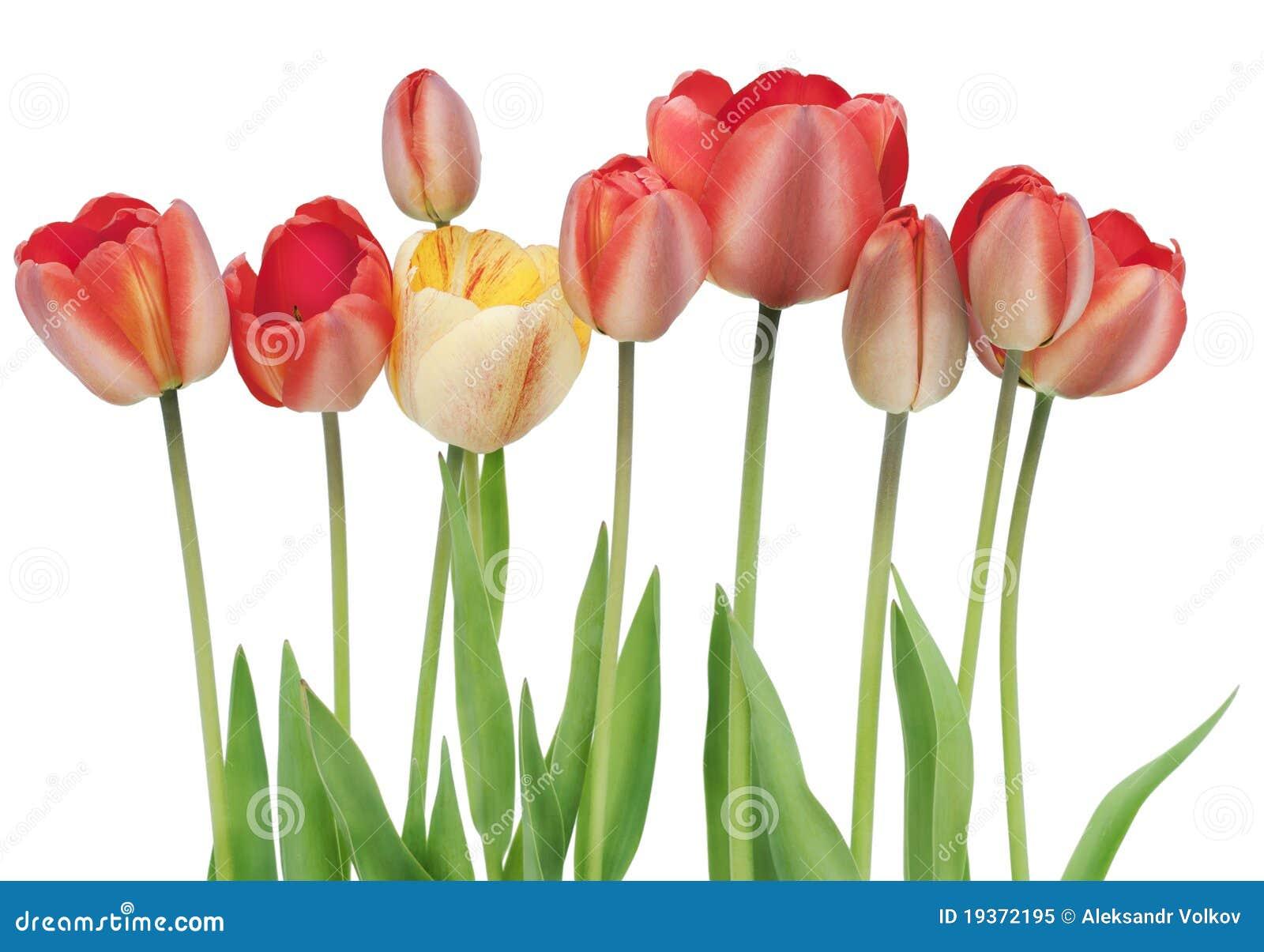 Beira dos tulips vermelhos