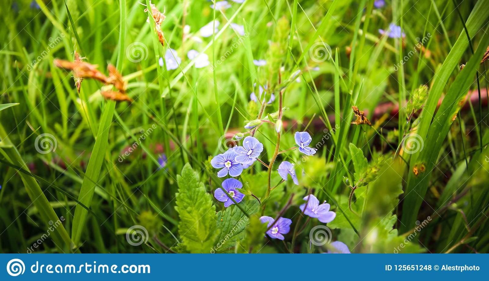 Bekijken de zachte blauwe bloemen van Veronica chamaedrys- ons van de diepten van het gras