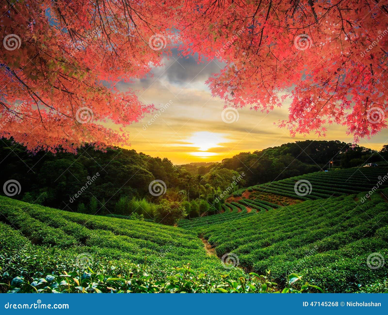 Bel érable gentil du jardin de thé W