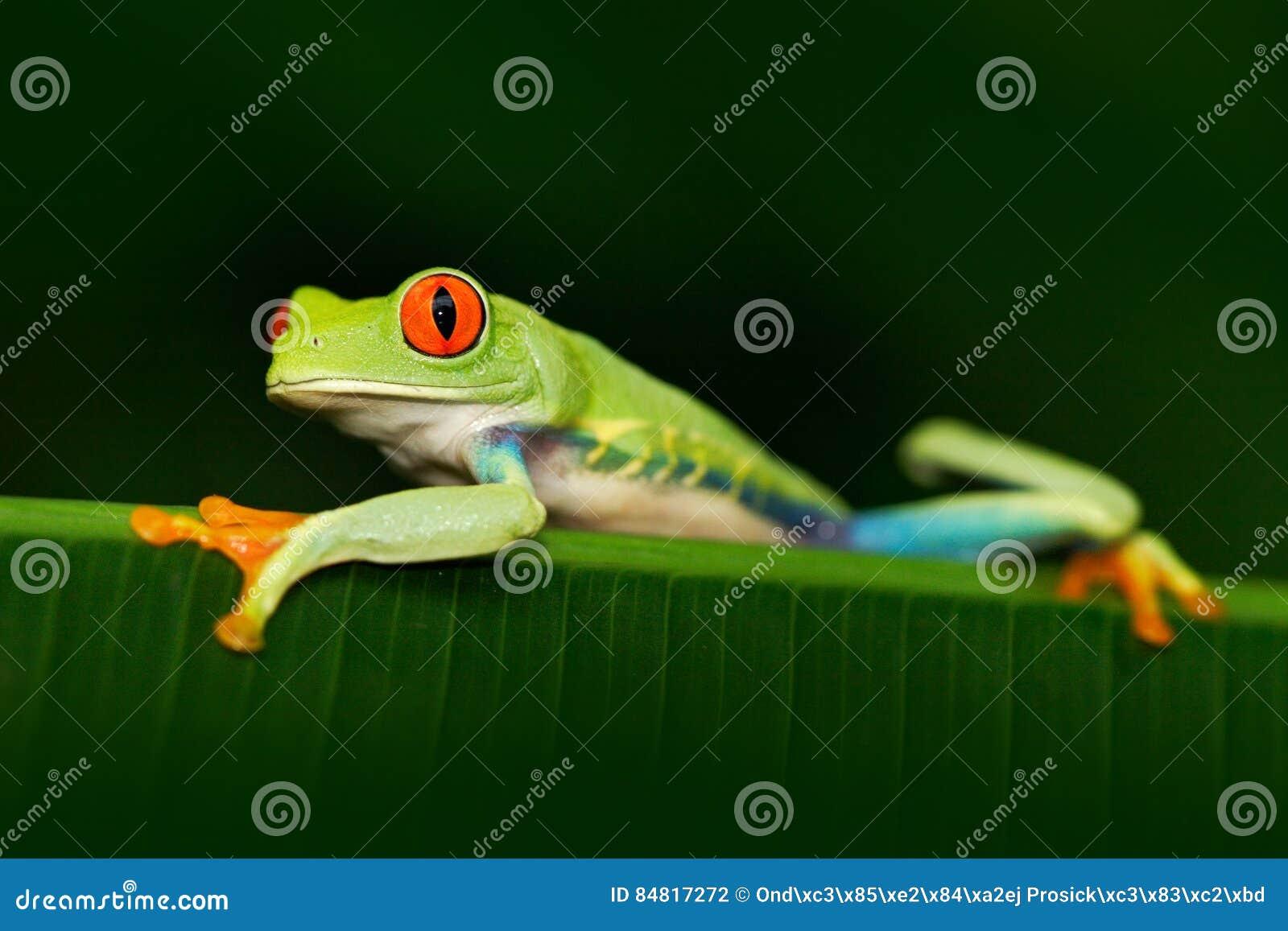Bel animal exotique d Amérique Centrale Grenouille d arbre aux yeux rouges, callidryas d Agalychnis, animal avec de grands yeux r