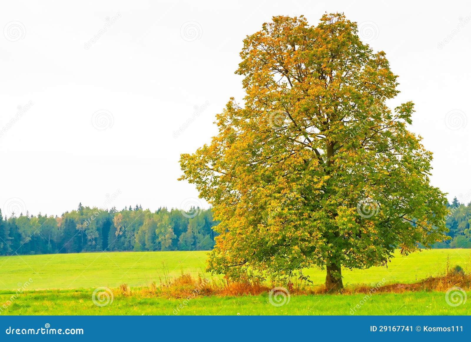 Bel arbre feuilles caduques dans un domaine image stock - Arbres a feuilles caduques ...