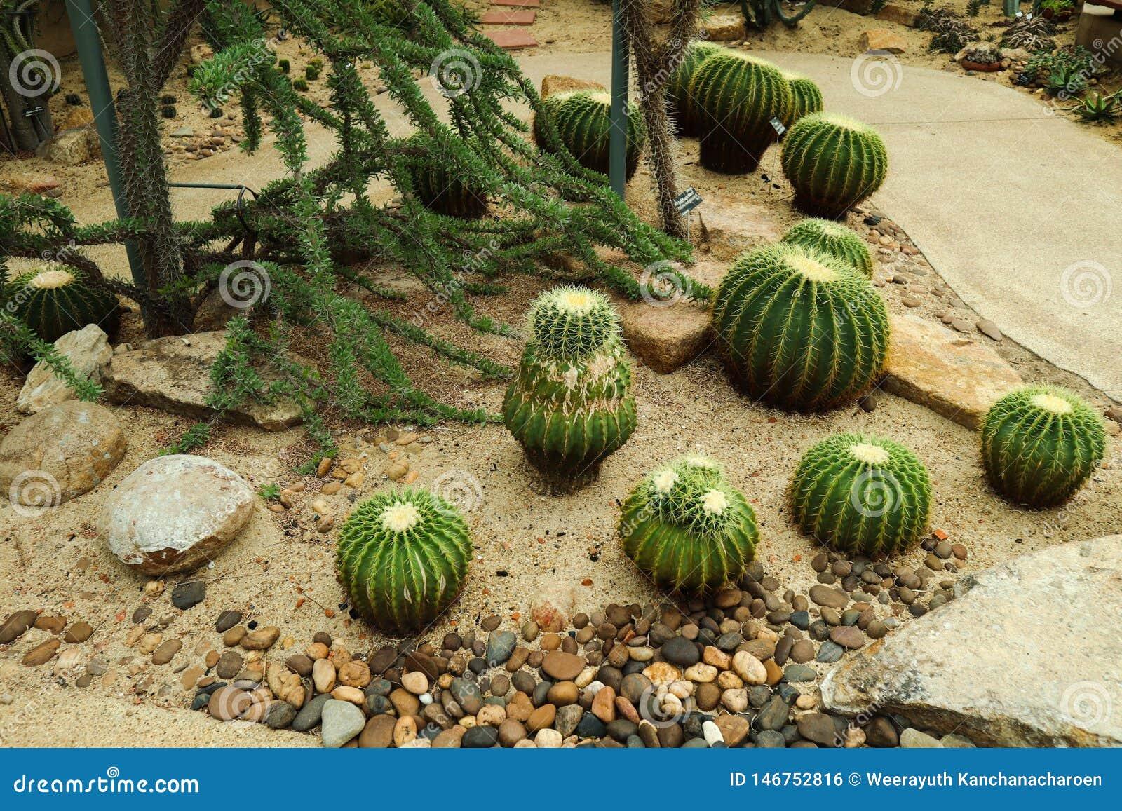 Bel arbre de cactus dans les jardins et les parcs ext?rieurs