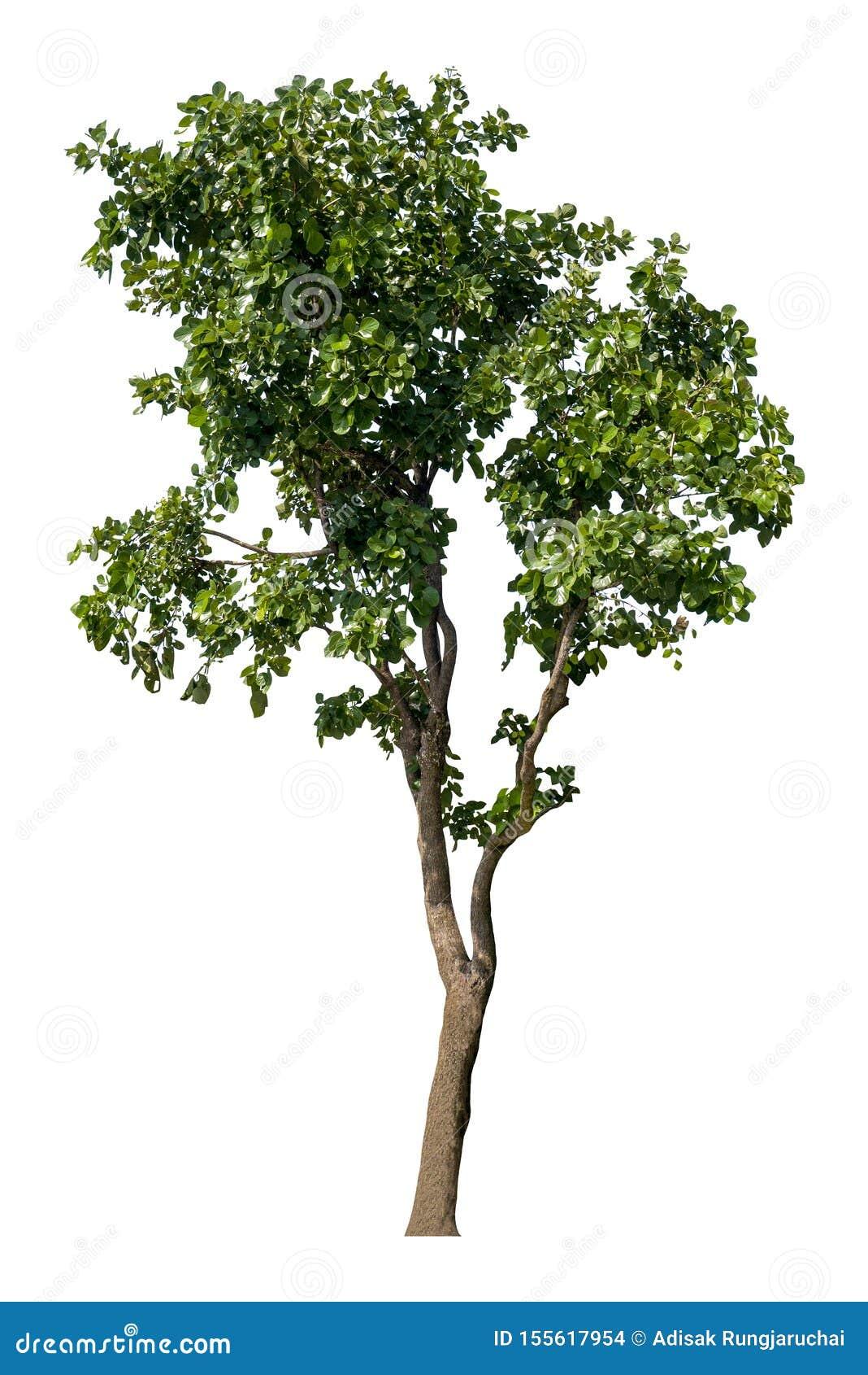 Bel arbre ? feuilles caduques vert frais d isolement sur le fond blanc pur pour le graphique