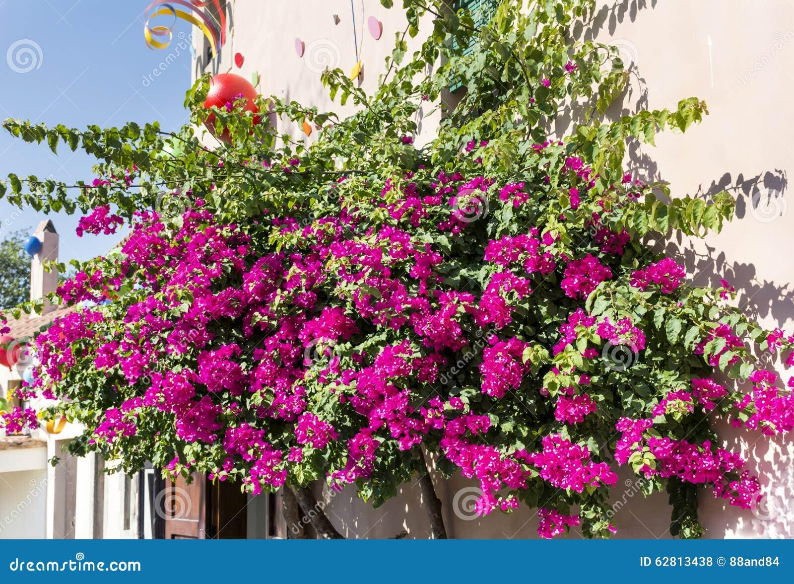 bel arbre violet de tropique de bouganvillée photo stock - image du