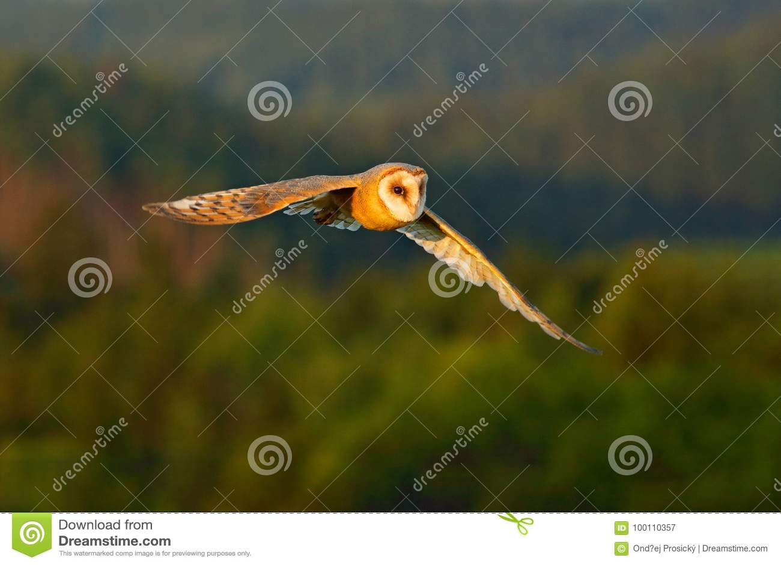 Bel oiseau dans la mouche Le soleil gentil de soirée Le hibou de grange, oiseau léger gentil en vol, dans l herbe, a tendu les ai