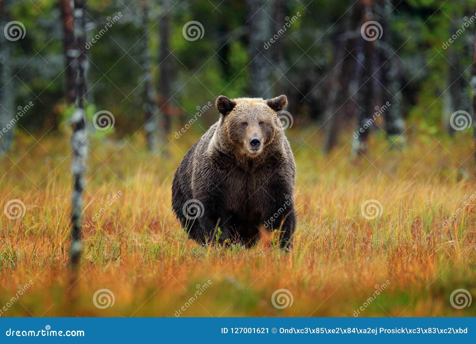Bel ours brun marchant autour du lac avec des couleurs de chute Animal dangereux en bois de nature, habitat de pré Habitat de fau