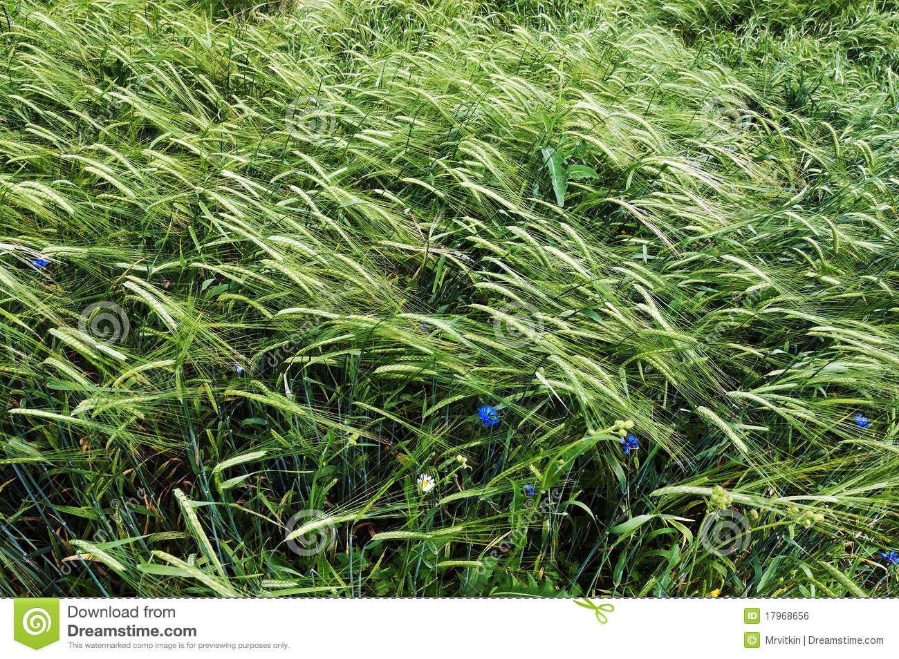 Belarus Green Wheat Field Nice Summer Day Royalty Free