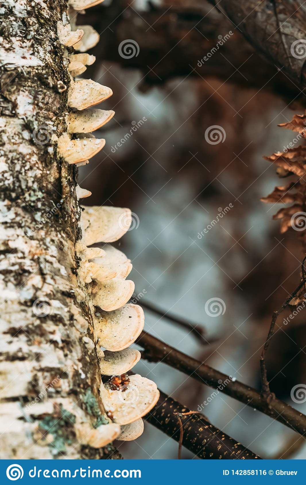 Belarus. Polypore Fungus On Tree Trunk In Autumn Rainy Day. Bracket Fungi, And Their Woody Fruiting Bodies Are Called