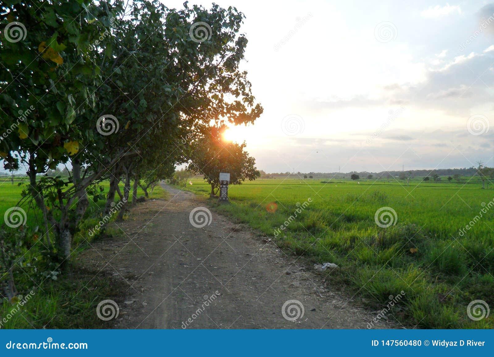A beleza de campos do arroz na tarde