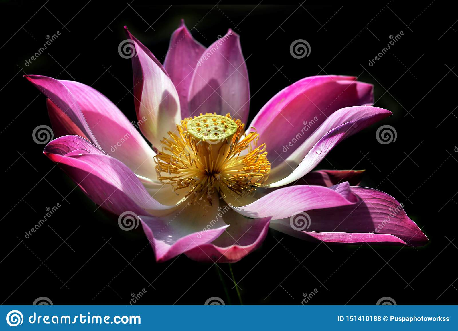 A beleza de Lotus Blooms Isolated no fundo preto com gotas de orvalho em suas pétalas e luz natural