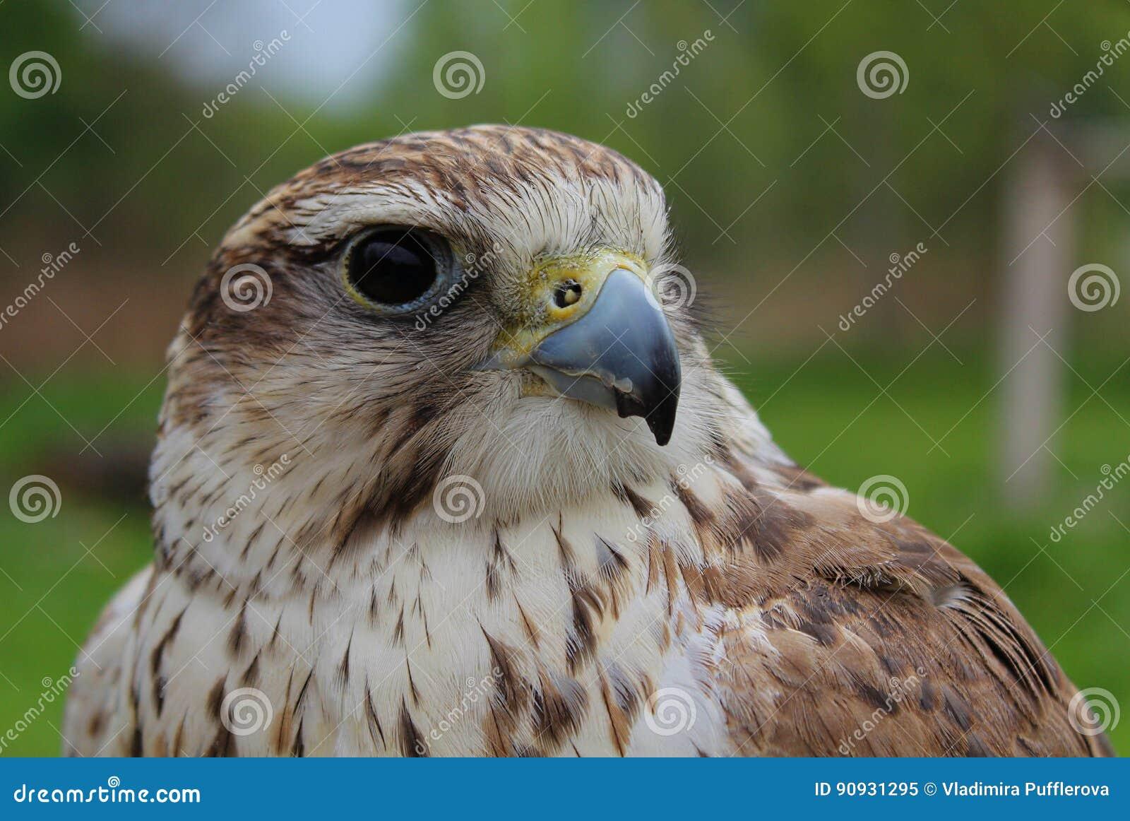 Beleza do falcão