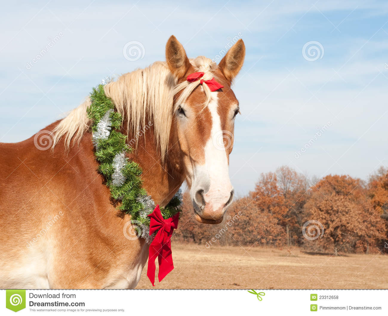 Belgian Draft Horse With A Christmas Wreath Stock Photo Image Of Comical Gentle 23312658