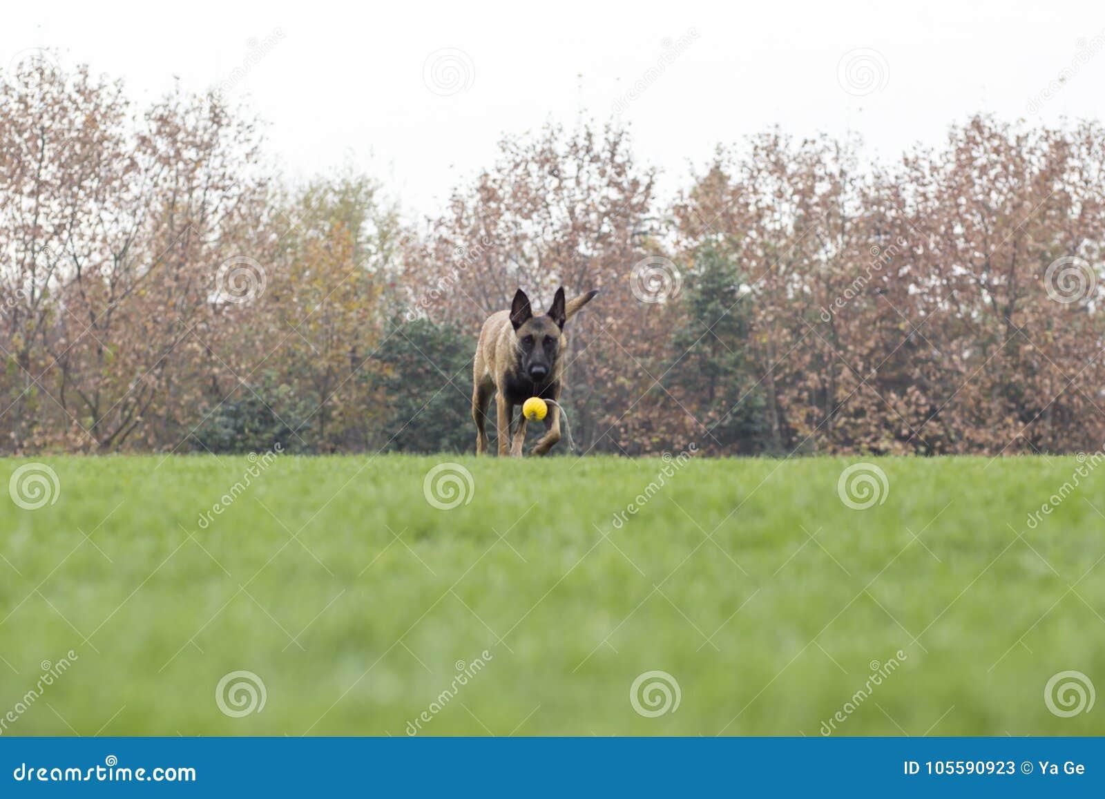 Belgian Malinois stock image. Image of dogs, grass, biting ...