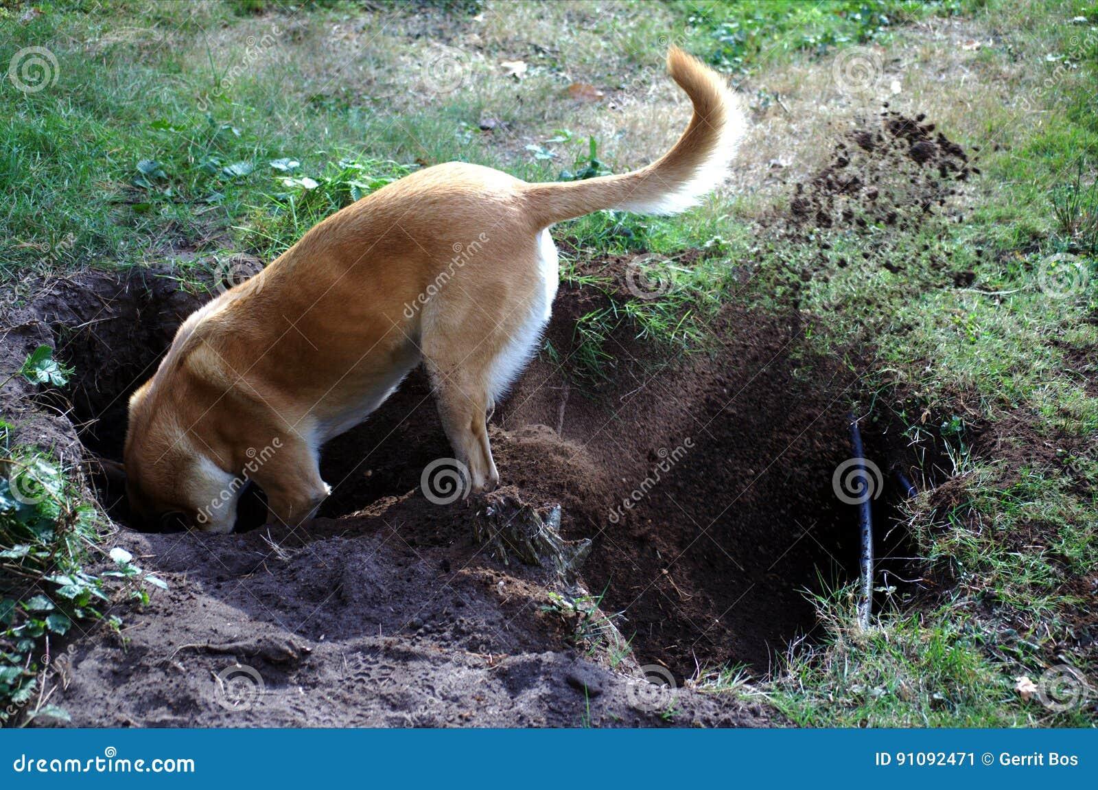 Belgian Malinois dog digging a hole
