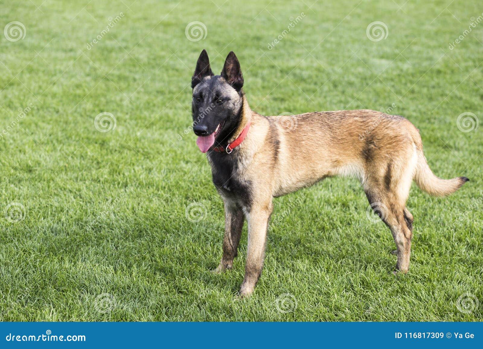 Belgian Malinois stock image. Image of dogs, fierce ...